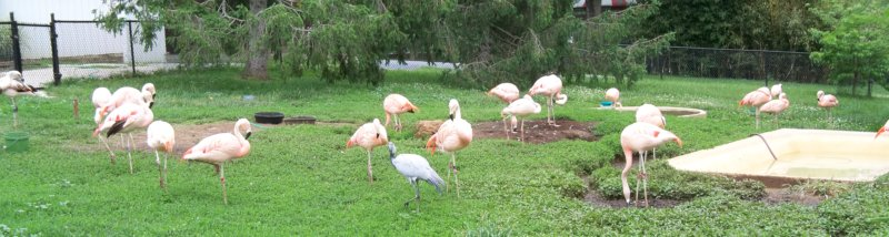 pink flamingos in a field