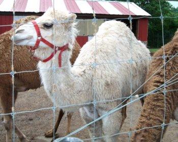 white camel with beautiful eye lashes