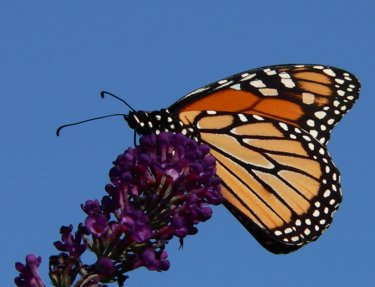 monarch butterflies facts