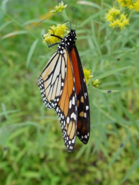 monarch butterly migrations